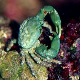 Mithrax sculptus-Crabe herbivore mangeur de Valonia 2-3 CM