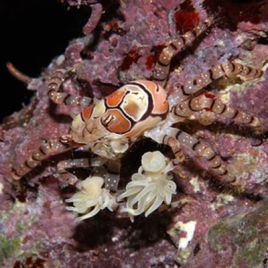 Lybia tesselata-crabe boxeur 1-2 cm