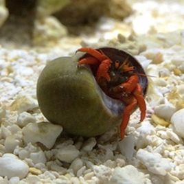 Clibanarius rutilus-Bernard l'ermite rouge nain 1-2 cm (lot de 5)