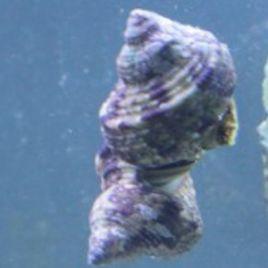 Turbo sp.-escargots mangeurs d'algues 1-2 CM par 5