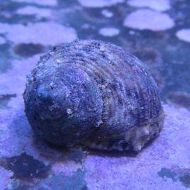 Turbo sp.-escargots mangeurs d'algues 1-2 CM par 10