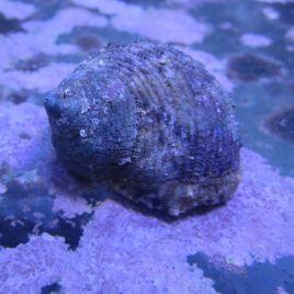 Turbo sp.-escargots mangeurs d'algues 1-2 CM