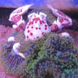 Neopetrolisthes maculatus-crabe anémone 2-3 CM par 2