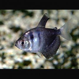Gymnocorymbus Ternetzi-Tetra veuve noirs 1.5-2cm