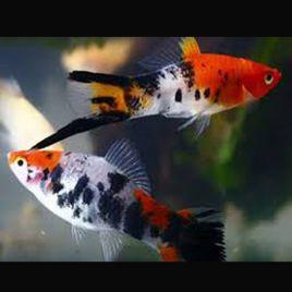 Xipho Xiphophorus helleri Sanke lot de 5