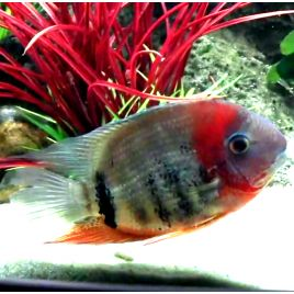 Heros Fasciatus red sauvages 8-10 cm