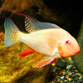 Acarichthys Heckelii albinos 6-8cm lot de 2