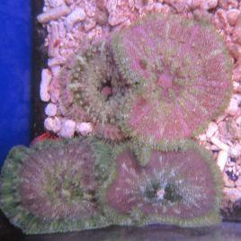 stichodactyla tapetum colorés