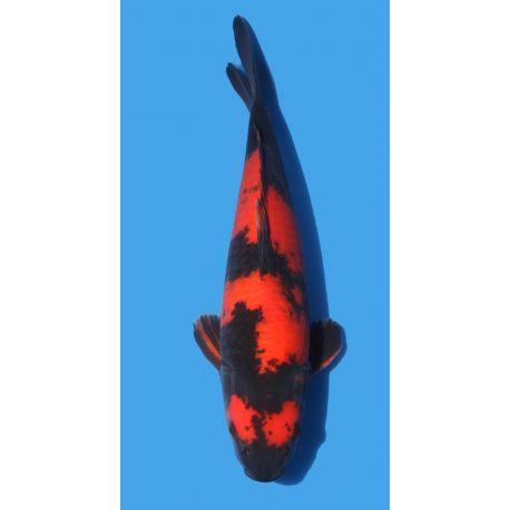 Koï Japon Hi Utsuri éleveur Hirasawataille +-38cm sansai