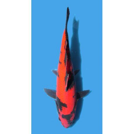 Koï Japon Hi Utsuri éleveur Hirasawataille +-30cm Nisai
