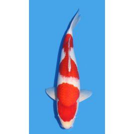 Koï Japon Kohaku éleveur Himitsu Daiinichi Blood Line taille: 49cm Nisai
