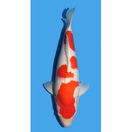 Koï Japon Kohaku éleveur Maruhirotaille 55-60cm Yonsai