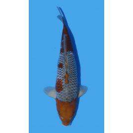 Koï Japon Ochibashigure éleveur Maruhiro taille: 30-35cm Nisai