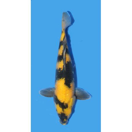 Koï Japon Ki Utsuri éleveur Maruhirotaille 30-35cm Nisai