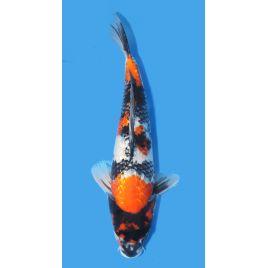 Koï Japon Ginrin Showa éleveur Shinodataille +-40cm Nisai