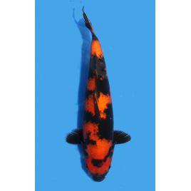 Koï Japon Hi Utsuri éleveur Shinodataille +-40cm Nisai