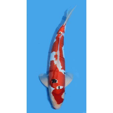 Koï Japon Doitsu Sanke éleveur Shinodataille +-40cm Nisai