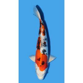 Koï Japon Yamatonishiki éleveur Seiki taille: 30-35cm Nisai