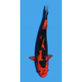 Koï Japon Beni Kumonryu éleveur Seiki taille: 30-35cm Nisai