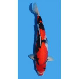 Koï Japon Showa éleveur Maruhiro taille: +-45cm Sansai
