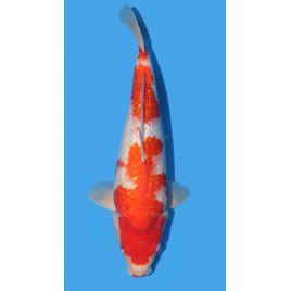 Koï Japon Ginrin Kohaku éleveur Maruhiro taille: 30-35cm Nisai