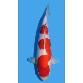 Koï Japon Kohaku éleveur Himitsu Daiinichi Blood Line taille: +-50cm Nisai