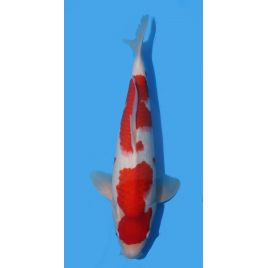 Koï Japon Kohaku éleveur Himitsu Daiinichi Blood Line taille: 40-45cm Nisai