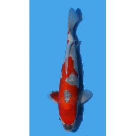 Koï Japon Goshiki éleveur Koda taille: +-35cm Nisai