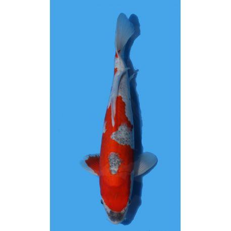 Koï Japon Goshiki éleveur Kodataille +-35cm Nisai