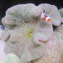 Stichodactyla haddoni-Anemone carpette vert pale