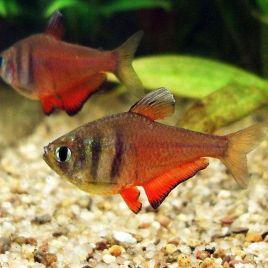 Hyphessobrycon Flammeus-Tétra de Rio rouge 2-3cm