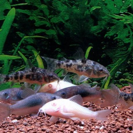Corydoras assortis lot de 10 + 5 offerts