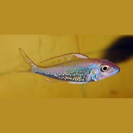 Callochromis Stappersi lot de 2