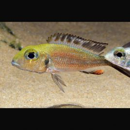 Callochromis Macrops lot de 2