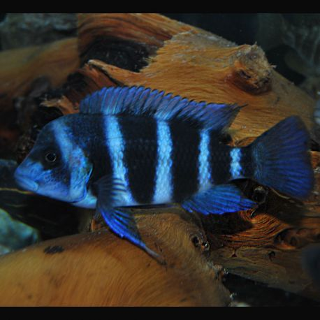 Cyphotilapia Frontosa Blue Zaire Moba 15-18cm