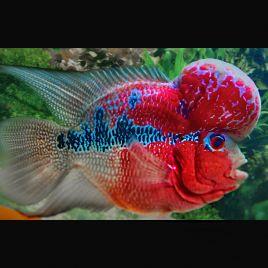 Flower Horn super red 12-15cm