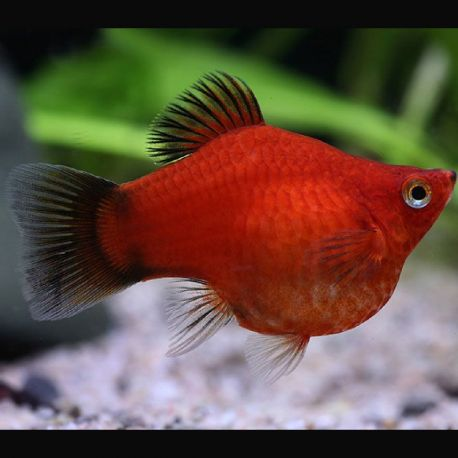 Platy Wagtail Corail 2-3cm