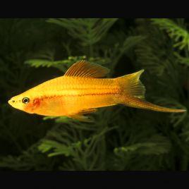 Xipho Xiphophorus helleri dorés-portes-épées 4-5cm lot de 3