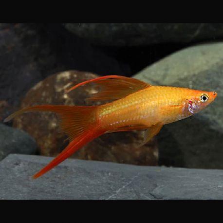 Xipho Xiphophorus hellerii lyres assortis 4-5 cm le lot de 10