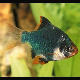 Capoeta Tetrazona Barbus de Sumatra verts 3-4cm