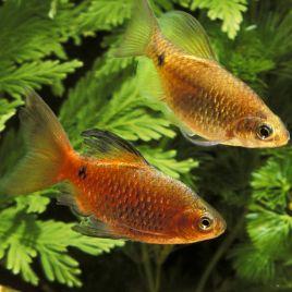 Puntius-Barbus Conchonius Voilées couple 5-6cm