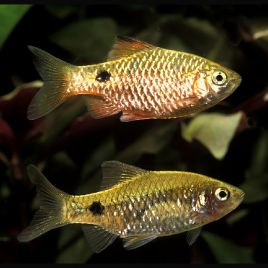 Puntius-Barbus Conchonius Brillants couple 4-5cm