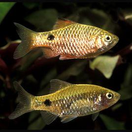 Puntius-Barbus Conchonius Brillants couple 4-5cm