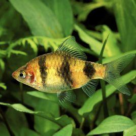 Puntius-Barbus Nigrofasciatus 3-4cm lot de 10 + 2 offerts