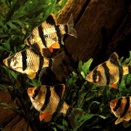Capoeta Tetrazona-Barbus de Sumatra 2-3cm
