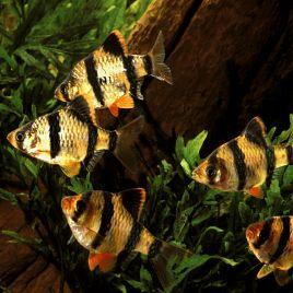 Capoeta Tetrazona-Barbus de Sumatra 1-2cm