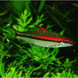 Puntius Denisonii-Barbus Torpille 4-5cm le lot de 2