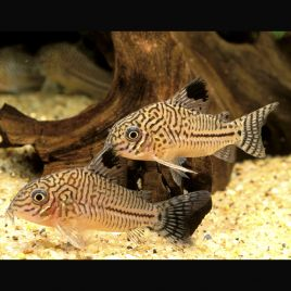 Corydoras Trilineatus lot 2