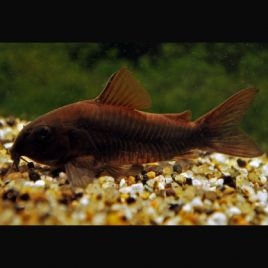 Corydoras Venezuela black  lot de 5