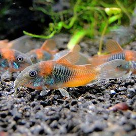 Corydoras Venezuela orange spot lot de 2